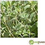 Semillas de hierbas - Mejorana / Origanum majorana - Lamiaceae - diferentes variedades(hojas de mejorana)