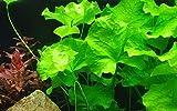 Tropica Aquarium Pflanze Nymphoides hydrophylla Taiwan Nr.041B Wasserpflanzen Aquarium Aquariumpflanzen