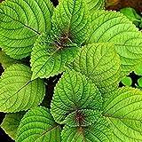 PLAT FIRM-SEEDS 100 PC-Perilla Shiso Seeds Medicinal Spice Perennial Kräuter für Hausgarten Pflanze