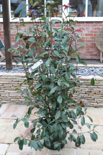 photinia-fraserii-red-robin-plante-buissonnante-grandes-plantes-hauteur-1-m