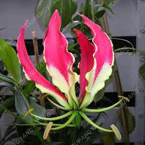 100 / sac blanc péruvien Lily Graines péruvienne Lily Mix (Alstroemeria) Graines de fleurs vivaces pure Bonsai plantes pour jardin Gris foncé