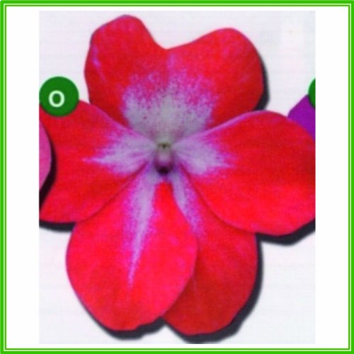ajp-impatiens-busy-lizzie-f1-dezire-series-starburst-red-seed