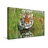 Premium Textil-Leinwand 45 cm x 30 cm quer, Erfrischung gefällig? Sibirischer Tiger entspannt im Wasser   Wandbild, Bild auf Keilrahmen, Fertigbild (Panthera tigris altaica) (CALVENDO Orte)
