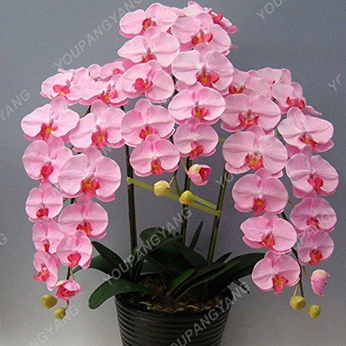 100 graines / paquet semencier japonais Radiata Aigrette Orchid Graines Espèce rare orchidée du monde Fleurs blanches Orchidee Jardin Plante clair