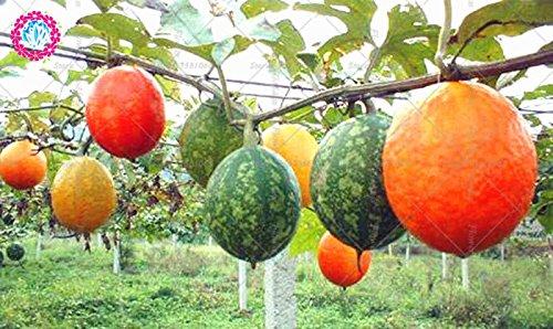 20pcs Snakegourd Semences Potagères culture facile radis rouge fruits en pot pour le jardin Ferme Cour