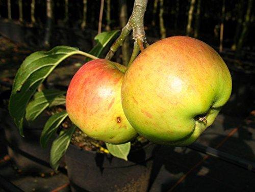 Apfel Weiße Blüten im Frühjahr