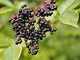 Schwarzer Holunder Sambucus nigra 360 Samen
