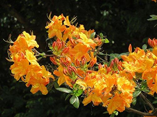 azalea-knap-hill-hybrid-klondyke-deciduous-azalea-plant-in-9cm-pot