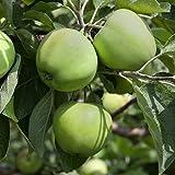 Dominik Blumen und Pflanzen, Apfelbaum