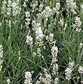 Lavendel ( Lavandula angustifolia 'Edelweiss' ) WEISS von Lichtnelke Pflanzenversand bei Du und dein Garten