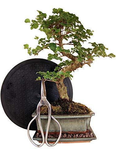 Anfänger Bonsai-Set Liguster - 4 teilig - ca. 35cm hoher Liguster-Bonsai, 1 Schere, 1 Untersetzer, 1 Arbeitsdrehteller