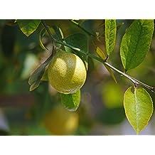 EL LIMON el mejor remedio natural que existe: Limon cura,belleza,salud,limpia,purifica,etc..