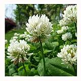 10000 Weißklee Leguminosen-Samen ~ Chris Garten