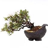 Bonsai - Shohin Jap. Satsuki Azalee 'Hi-no-Maru', Rhododendron indicum 183/57