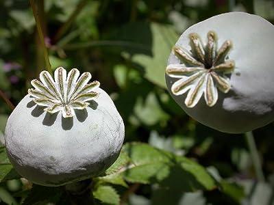 Echter Schlafmohn 100+ Samen , -Papaver Somniferum- von Samenchilishop bei Du und dein Garten