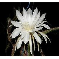 Selenicereus dorschianus seeds