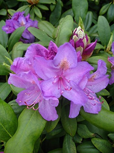 Alpenrose Rhododendron catawbiense Grandiflorum 40-50 cm hoch im 5 Liter Pflanzcontainer