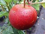 Apfelbaum, Roter Boskoop, Malus domestica, Obstbaum winterhart, alte Sorte rot, im Topf, ca. 175