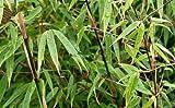 Fargesia nitida Black Pearl - Hybride - Heckenbambus - verschiedene Größen (50-70cm - Ø 14cm - 2-4 Triebe)