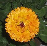 Asklepios-seeds® - 500 Semillas de Calendula officinarum Calendula officinalis, caléndula, botón de oro, mercadela, maravilla, azucena, caldo, caléndula, caléndula oficinal