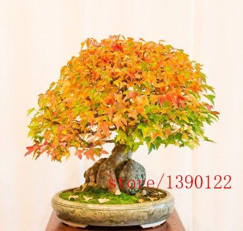 semillas-de-arce-20pcs-trident-semillas-de-arce-japons-rbol-acer-buergerianum-semillas-de-flores-bon