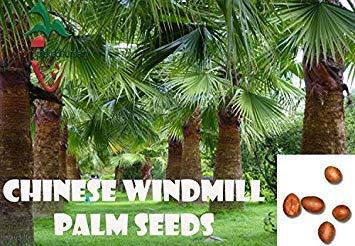 Potseed Keimfutter: 10 Chinesische Hanfpalme Samen, (Trachycarpus fortunei) von Hand gepflückt (Von Hand Gepflückt)