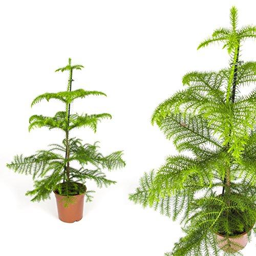 """Inter Flowers -Zimmertanne,Araukarie""""Heterophylla"""",Norfolktanne 100cm+/- Zimmerpflanzen"""