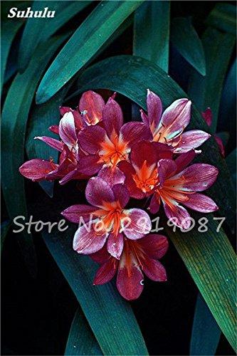 100 Pcs Clivia Graines bon marché Clivia Fleurs Mix Couleurs Bonsai Balcon fleur pour jardin meilleur cadeau pour les enfants So Beautiful 16
