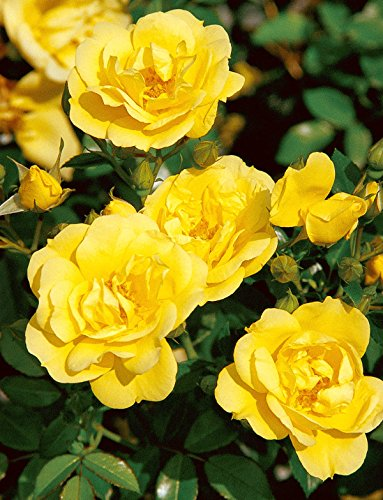 Rosa Flower Carpet Rose ('Loredo' -R-, Beetrose im 4 L Container)