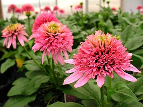Samen Paket: Echinacea ea Delicious Candy - Ke-, In 4