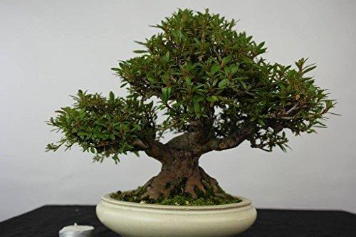 satsuki-azalea-specimen-bonsai-kinsai-variety-35-years