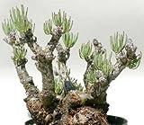 Tylecodon pearsonii - Caudexpflanze - 10 Samen
