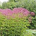 Gewöhnlicher Wasserdost - Eupatorium cannabinum - alte Heil und Medizinpflanze, Bienenweide von Native Plants bei Du und dein Garten