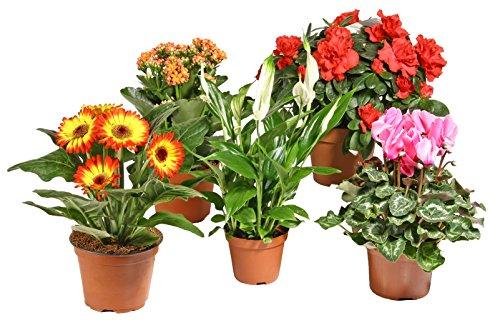 Zimmerpflanzen Blühpflanzen Mix nach Ihren Wünschen (5er-Mix)