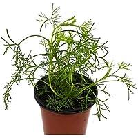 Abrótano Macho 10cm Hierba Natural en Maceta Artemisa Abrotanum