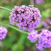 100 unids Vervain Semillas, Rare verbena Perenne Semillas Jardín de Flores de La Planta Floral Fragante Bonsai Vida Al Aire Libre Misterioso
