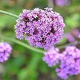 100 stücke Vervain Samen, seltene verbene Mehrjährige Samen Garten Blume Floral Pflanze Duftenden Bonsai Outdoor Living Mysterious