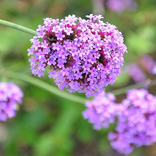 Aprettysunny 100 unids Verbena verbena Semillas Perenne Semilla Jardín Flor Floral Planta Fragante