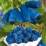 Qulista Samenhaus - 50pcs Rarität Honigbeere Maibeere Lenzbeere honigsüß lecker aromatisch Obstsamen winterhart mehrjährig