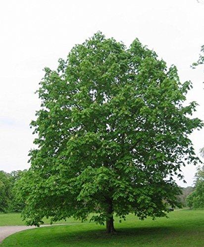 Baum des Jahres 2005 - Rosskastanie im Container Größe 80 bis 100 cm