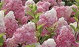 Vanilla Strawberry hydrangea Flower Seeds