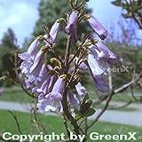 Blauglockenbaum 100-125cm - Paulownia tomentosa