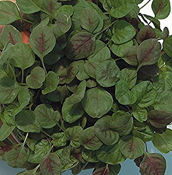 Shop Meeko King Seeds - Baby Leaf - Rot/Chinese Spinat - 150 Samen