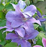 Waldrebe Mrs. Cholmondeley 60-80cm - Clematis