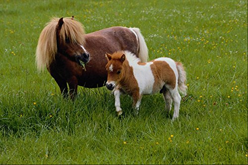 574063-falabella-and-foal-a4-photo-poster-print-10x8