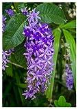 TROPICA - Blauer Vogelwein (Petrea volubilis) 10 Samen