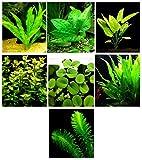 Aquarium-Pflanzen / 7 Verschiedene Arten – Custom Combo (Anubias, Amazon-Schwert, Java Farn, Moos vieles mehr!) Toller Pflanzentampfer, für 1,7-2,9 l Panzer!