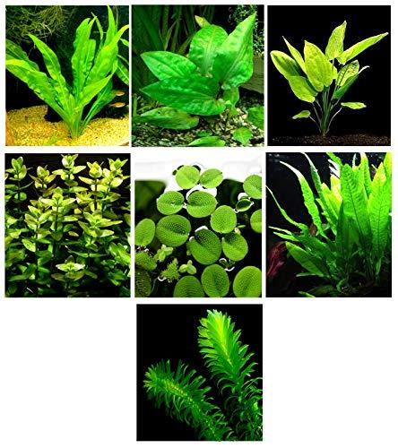 Aquarium-Pflanzen / 7 Verschiedene Arten - Custom Combo (Anubias, Amazon-Schwert, Java Farn, Moos vieles mehr!) Toller Pflanzentampfer, für 1,7-2,9 l Panzer!