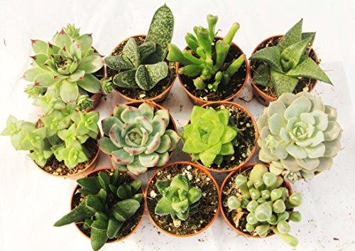 11 Mini-Sukkulenten 5,5cm Topf - Kakteen- echte Pflanzen - Ohne Dornen- Produktion Viggiano Cactus