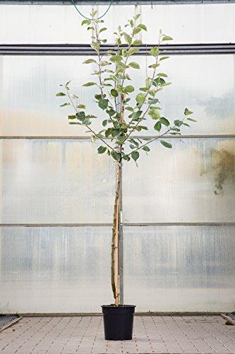 GeschenkIdeen.Haus - Apfelbaum Cox Orange pflanzen - Ideal zum Richtfest